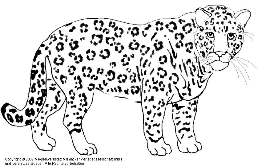 Snow Leopard Coloring Pages