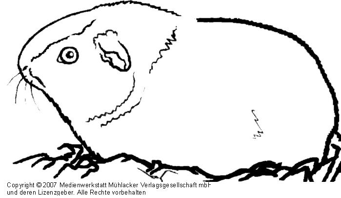 meerschweinchen  medienwerkstattwissen © 20062017