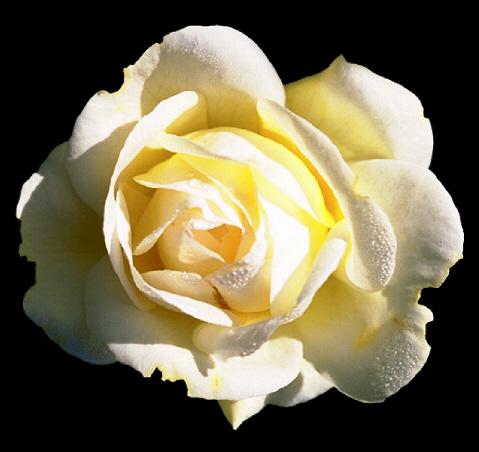 Ubrugte Die schönste Rose der Welt (nach Hans Christian Andersen LR-23