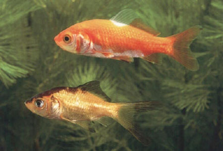 Goldfisch medienwerkstatt wissen 2006 2017 medienwerkstatt for Fische in teichen